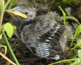 Starling chick