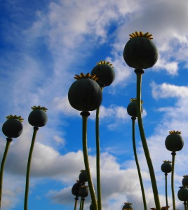 Opium poppy seeds heads