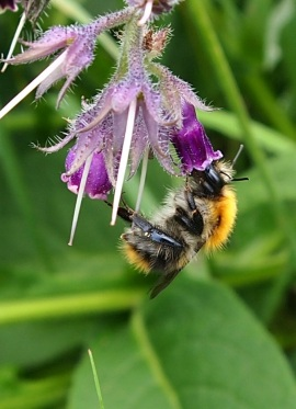 Carder Bumblebee