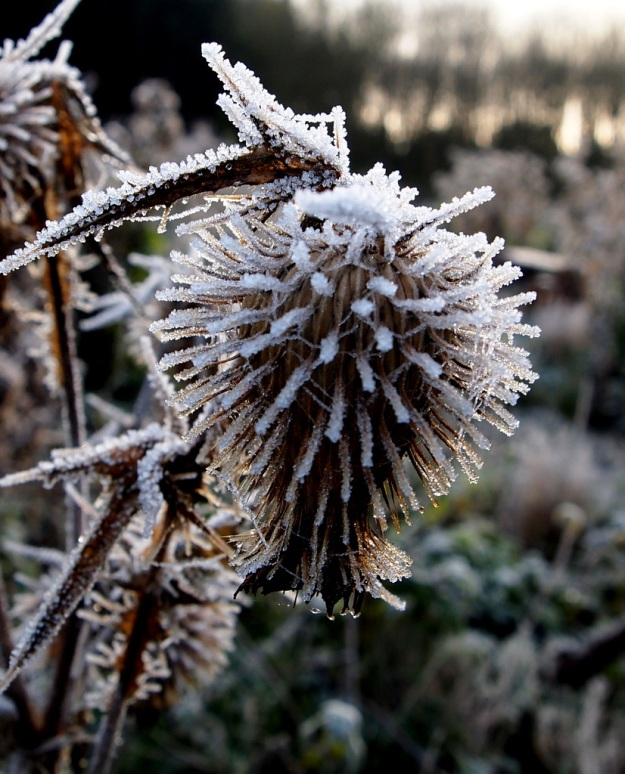 Thistle in frost